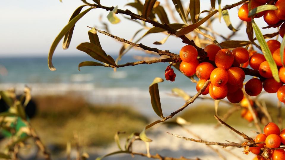 argousier vue sur la baie d'authie à fort-mahon-plage