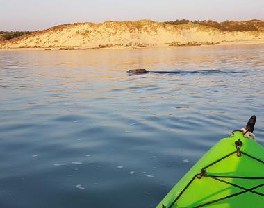 kayak sur l'authie avec phoque